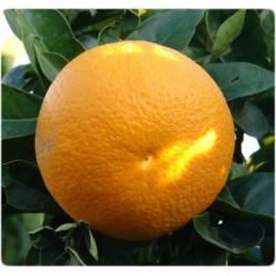 Arance dolci Vaniglia, 10 Kg