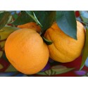 Arance dolci Vaniglia, 17 Kg